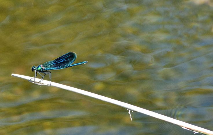 dragonfly in Gallocanta