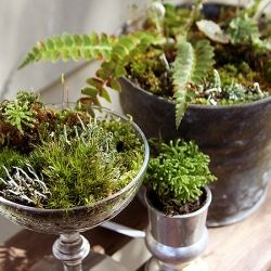 Cute mini moss and fern centerpieces at ice cream shop Lily on Orcas Island