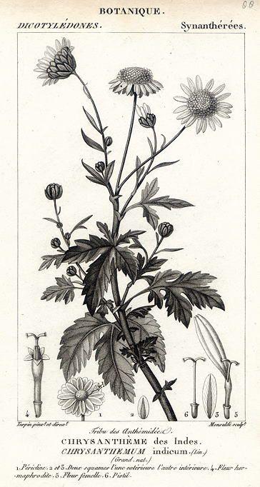 Botanical, Chrysanthemum indicum, 1829