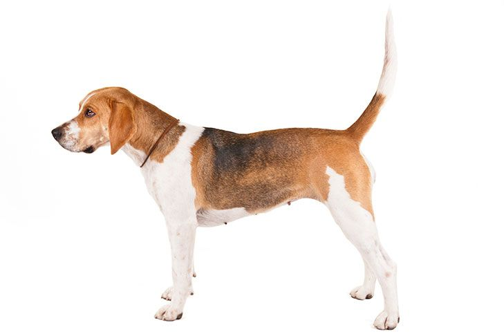 Harrier Dog Breed Information Harrier Dog Beagle Dog Breed