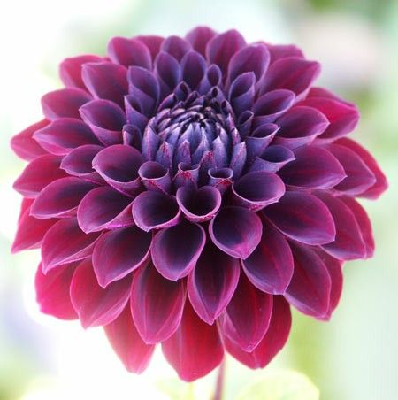 Dahlia - Black Fire the colors are so intense and bright <3