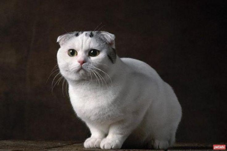 scottish fold kedileri hakkında detaylı bilgi