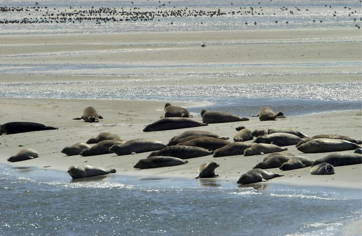 Seals on the beach of one of the Waddeneilanden