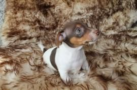 Puppyplaats.nl - jack russell pups liver and tan - Bastaard pups