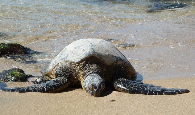 Cute sea turtle #Weymouth #sea #turtle #ocean #animal #cute #love #reptile #underthesea #waves #beach #sand #water #shell #flippers #seaweed