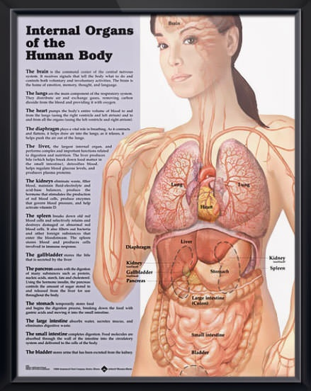 Internal Organs of the Human Body anatomy poster provides a simple overview of the location and functions of the major internal organs.  Gastroenterology chart for doctors and nurses.