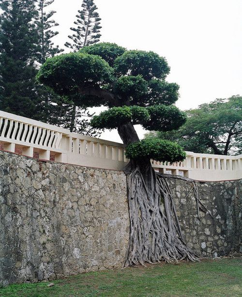 A Tree growing along this wall, incredible where and how some of these trees survive, and they flourish too. lol