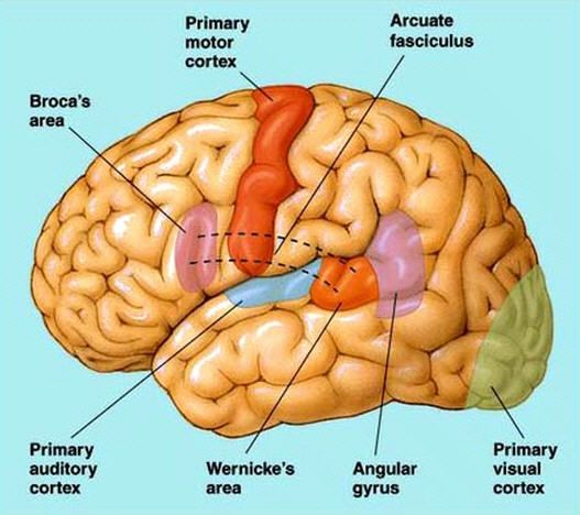 brocas area The most common types of aphasia are broca's, wernicke's, and global aphasia learn the language impairments for each.