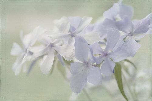 Slaapkamer Paars Grijs : Blue Phlox Flower
