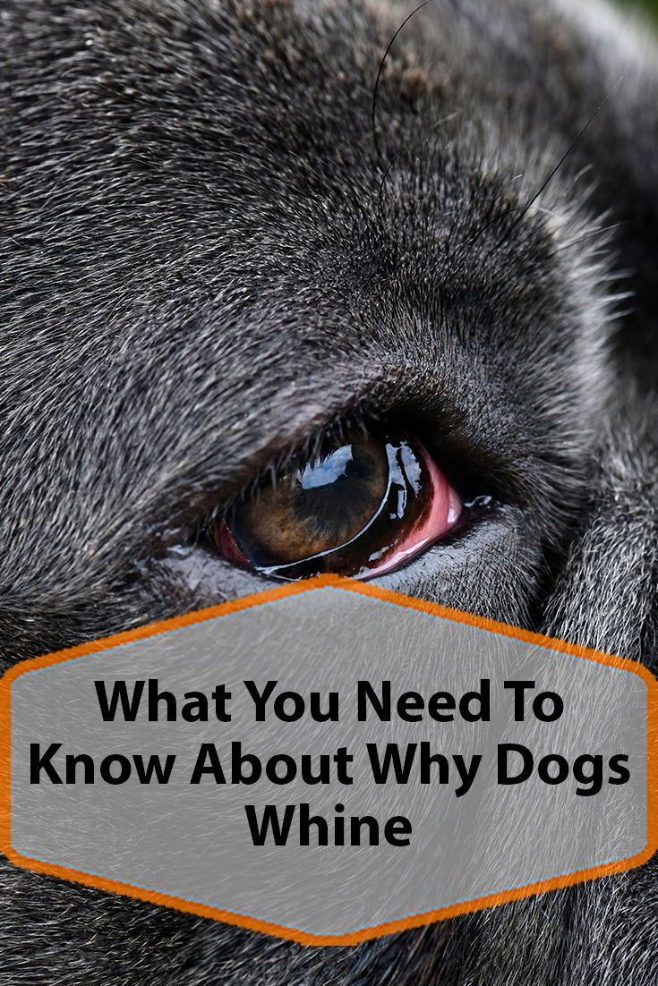 Why Is My Dog Whining Dog Whining Dogs Dog Behavior