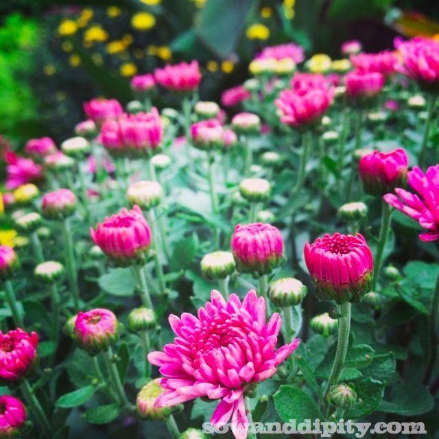 Fall Flower Mums: Best 25+ Fall Mums Ideas On Pinterest