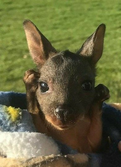 """""""Awe baby kangaroo so cute""""   (and they follow you around like a dog, and sleep in a bag hung from a nail in a doorway)"""