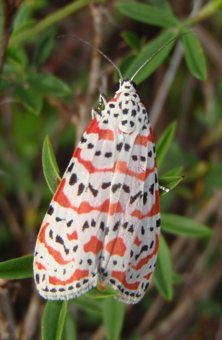 Rattlebox Moth (Bella Moth)