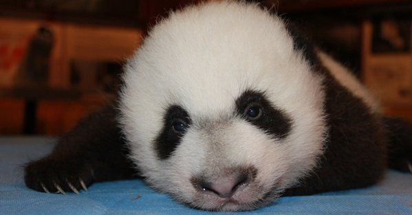Baby panda Bei Bei at the National Zoo. (Courtesy of the National Zoo)