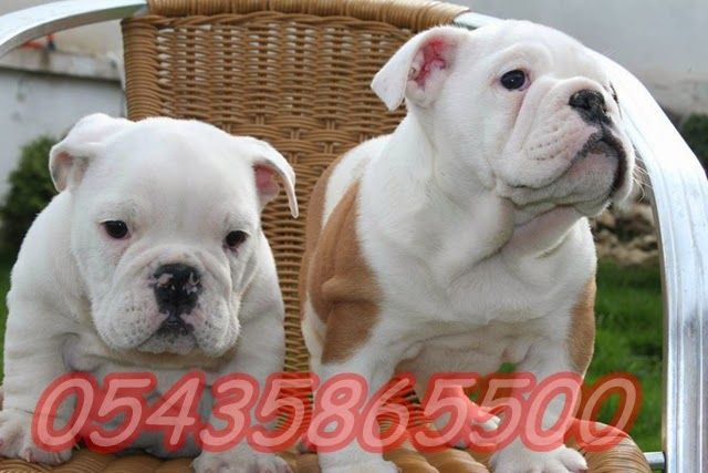 Satılık İngiliz Bulldog http://www.satilikyavruilani.com/2015/04/ingiliz-bulldog-yavrulari.html