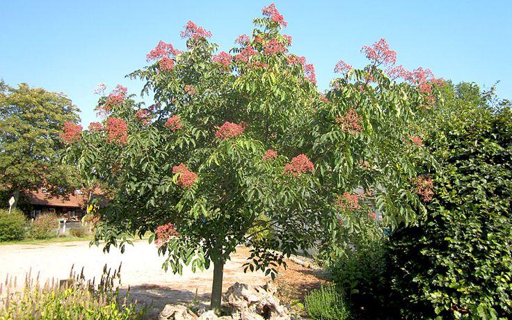 Bienenbaum (Euodia hupehensis), Nektarreiche Bienenweide aus China