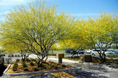Iconic Desert Tree, The Palo Verde