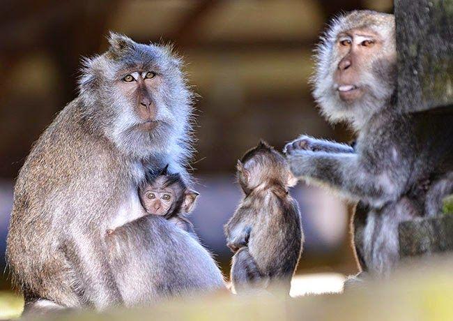 Alas Kedaton: Suaka Alam Hutan Monyet/Kera Sakral Bali