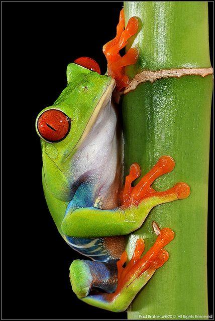 Red-eyed Tree Frog - I love these things. Www.boneyardbakery.net