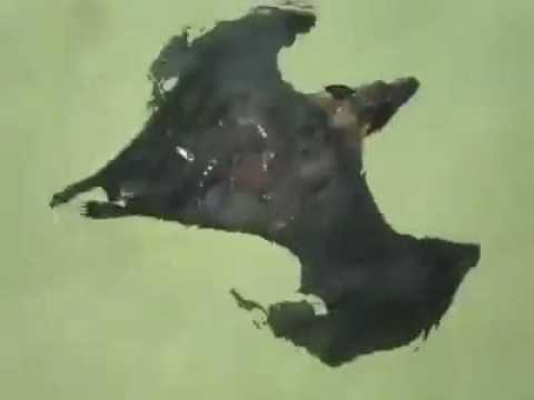 Drácula de férias. Sim, morcegos podem nadar! / holiday Dracula , a good . Yes, bats can swim! - YouTube