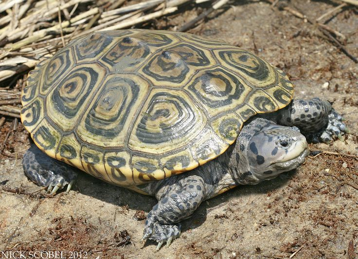 Northern Diamondback Terrapin | Flickr - Photo Sharing!