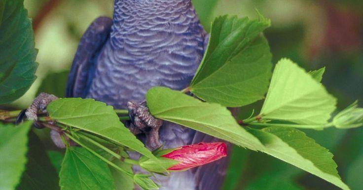 Pássaros que vivem na floresta africana. As paisagens exuberantes da África incluem florestas que margeiam as regiões sul, leste, oeste e parte do norte do continente. A vegetação rasteira e as árvores grandes e densas dessas florestas tornam-nas o lugar ideal para aves de todas as espécies. De grandes papagaios coloridos a pequenos pássaros tecelões, as florestas africanas apresentam ...