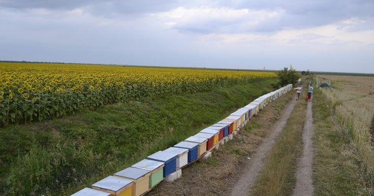 Din creierii munților și din parfumata câmpie...: Să curgă mierea...