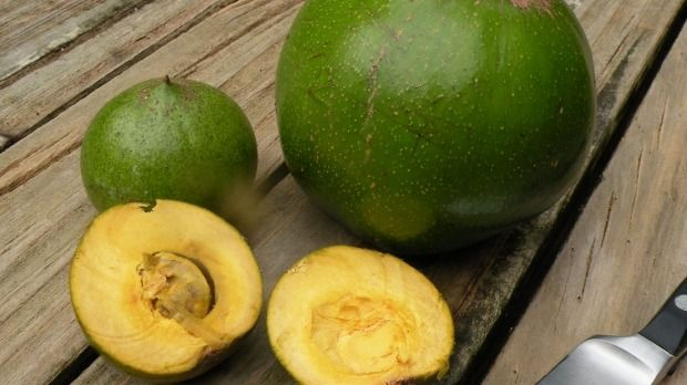 Russell Fransham harvests tropical lucuma fruit in Northland.
