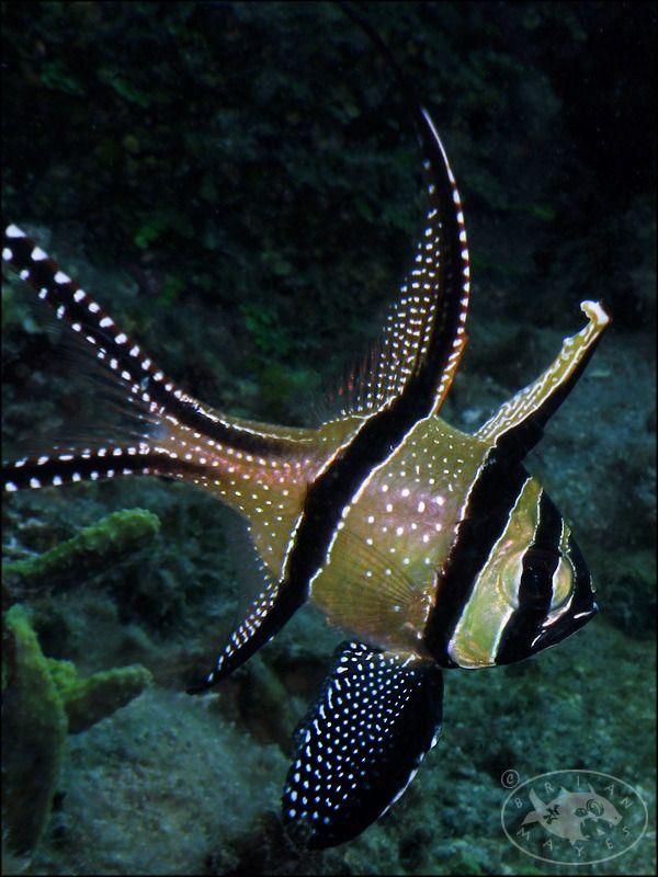 "Banggai Cardinalfish ~ Miks' Pics ""Sea Life l"" board @ http://www.pinterest.com/msmgish/sea-life-l/"