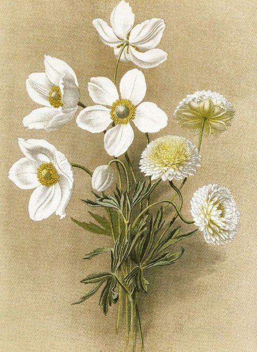 Худ. В.Н. Мюллер (1887—1979). Садовые многолетники. Ветреница или Пролеска крупноцветковая и махровая.