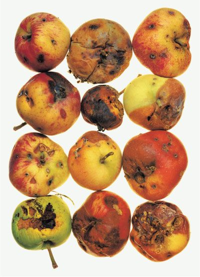 What if all apples in the box are rotten?   Irving Penn. 12 Apples,1995. Pigment print.   Copyright by The Irving Penn Foundation