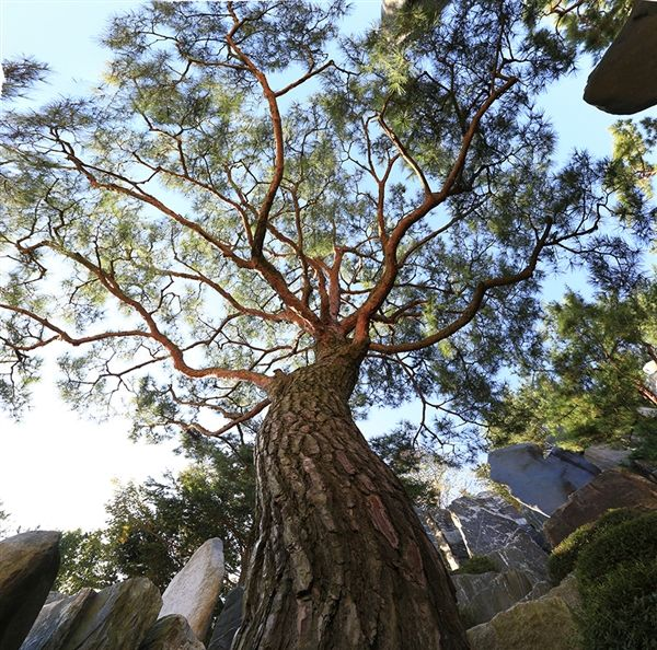 月明洞の手入れされた松の木には、「基本のいきさつ」があります。 - WolMyeongDong(キリスト教福音宣教会)
