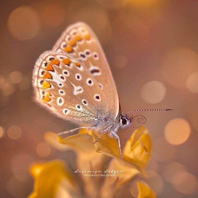 Golden magic butterfly!  Shimmering in autumn colours. Photography by Lizemijn Libgott , http://www.instagram.com/lizemijn/