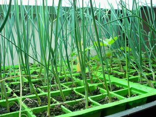 Tout savoir sur le semis de poireau : poireaux d'été, d'automne ou d'hiver, quand semer ? Au chaud ? En pépinière ? En place ? A quelle époque ? Nos conseils pour semer les poireaux.