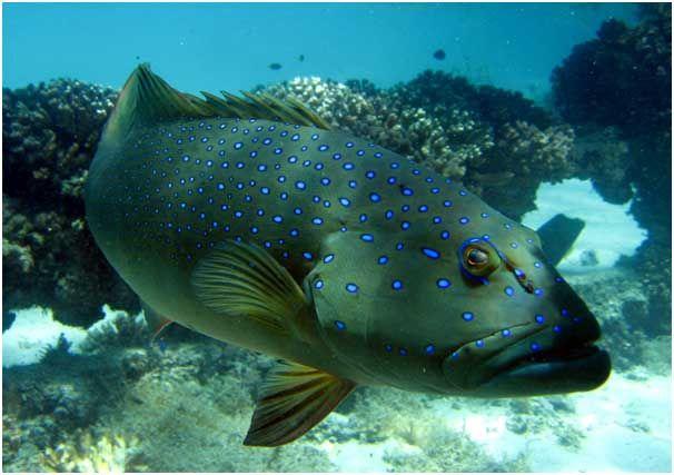 Marine reserves provide baby bonus to fisheries