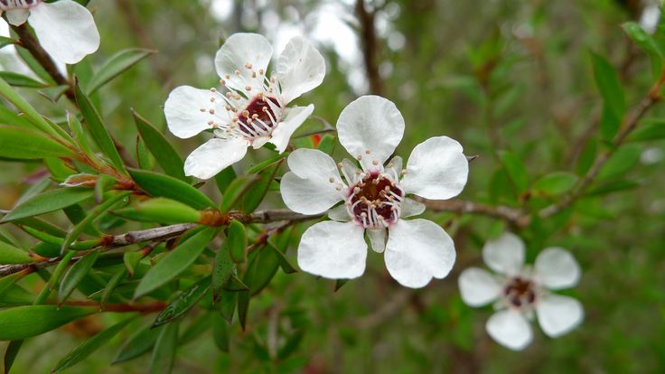 Common Tea Tree, which is used for DXN Tea Tree Cream: http://dxncoffeemagic.com/products