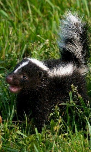 Baby Skunk...and obviously he'd have to be called Pepe Le Phew
