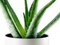Diese Pflanzen helfen dir dabei, besser zu schlafen: Aloe Vera