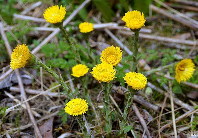 KUUNSÄTEESSÄ: Toukokuu ja keltaiset kukat