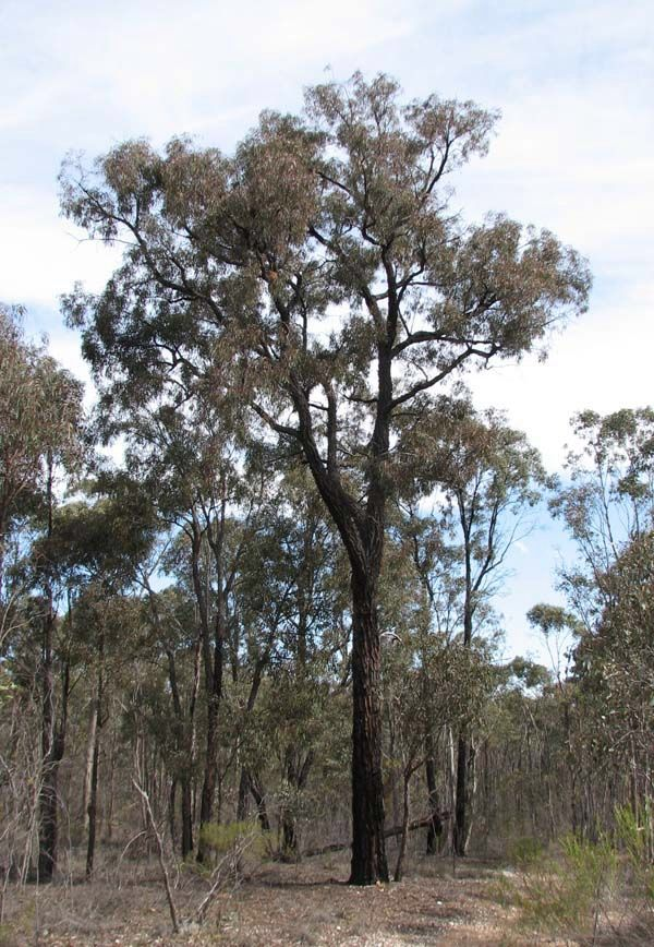 Red Ironbark Eucalyptus Tricarpa A Tall Ironbark Gumtree With