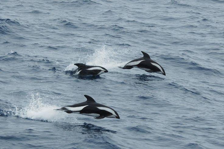 animaux d'afrique du sud   ... présent dans les eaux d'Afrique du Sud - entendu   meltydiscovery.fr