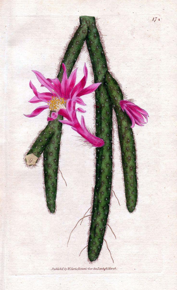 25 beste idee n over cactus plants for sale op pinterest. Black Bedroom Furniture Sets. Home Design Ideas