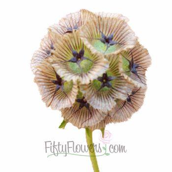 Thursday -- FiftyFlowers.com - Scabiosa Pods Green Filler Flower