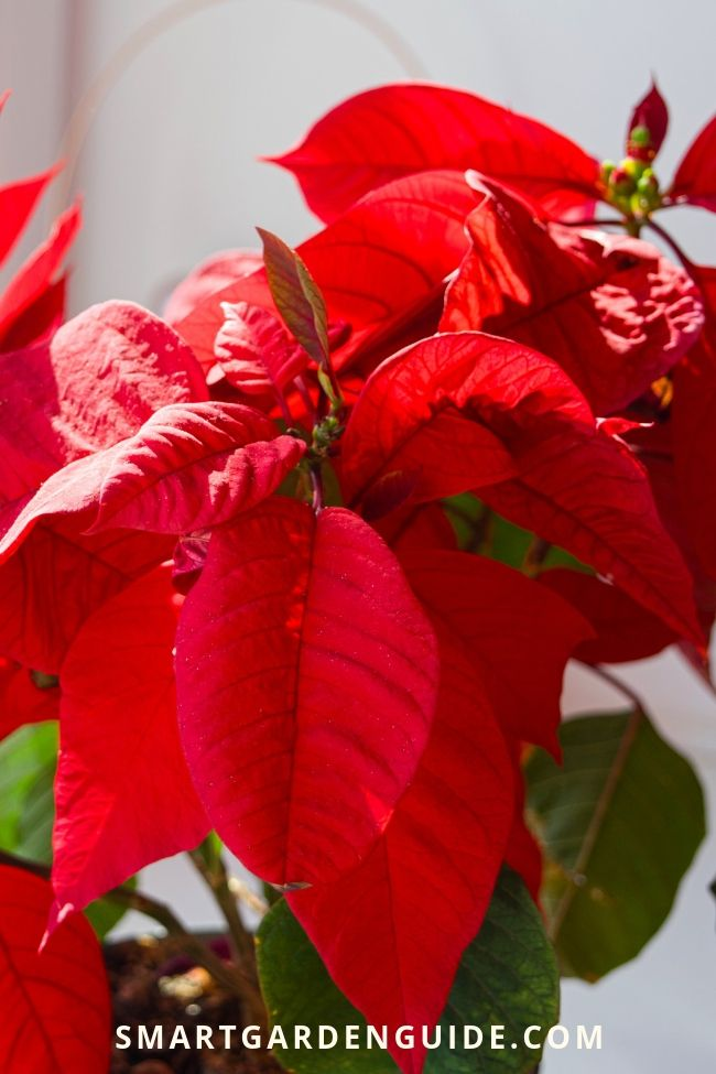 All You Need To Know About Poinsettia Plant Care Top Tips For At Christmas And After How Choose A