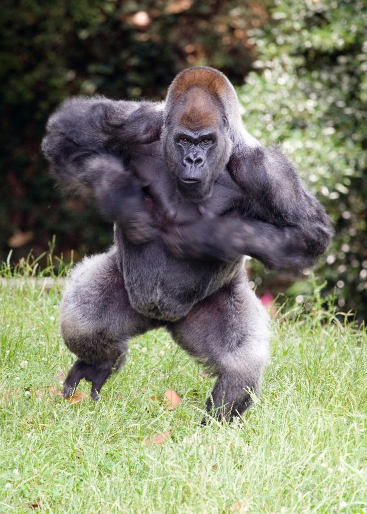 silverback gorilla beating chest Google Search Animaux