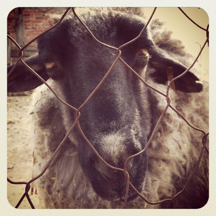The sheep.
