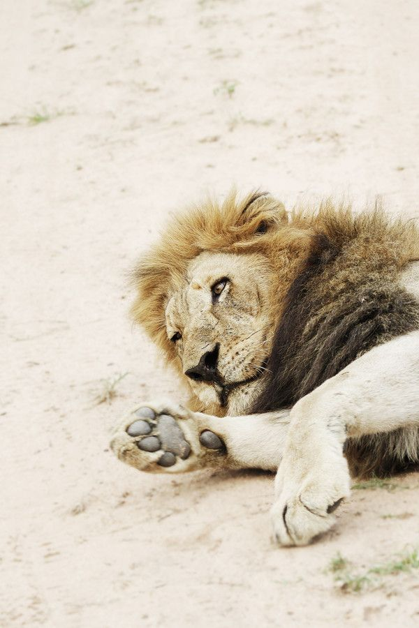 Lethargic by Tracy Wilkin on 500px.Lion, Kruger National Park, Safari, South Africa, wildlife.