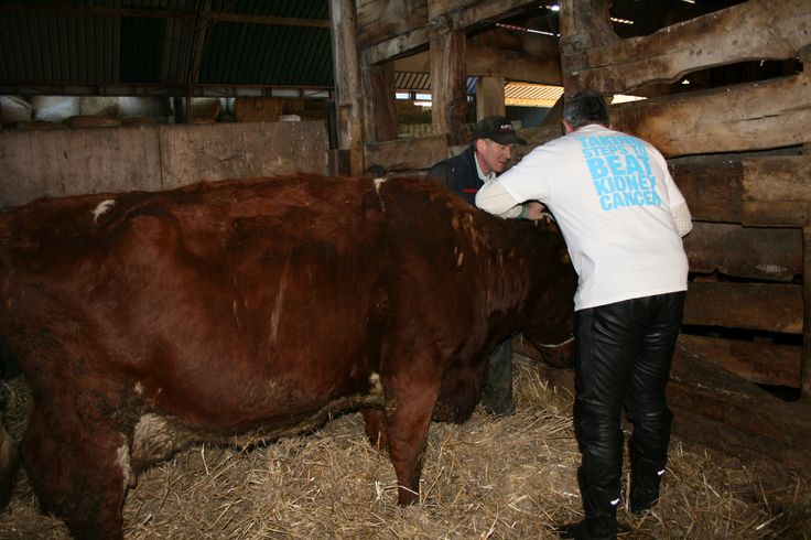 Jon persuading Poppy the dairy shorthorn to help with the publicity shots! #facingup2KC