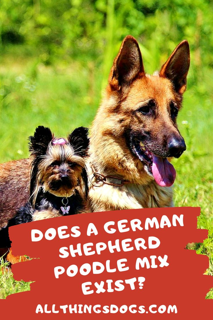 Yes A German Shepherd Poodle Mix Does Exits Often In The Form Of