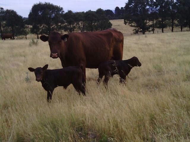 Red poll cow with twin bulls calves @ glenrossal red polls